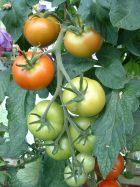 Tomato Truss