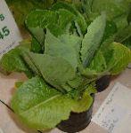 Lettuce variety: Cos