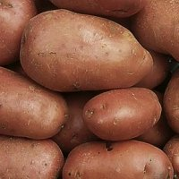 Desiree potato seed