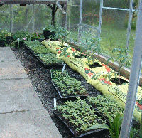 Growing tomatoes in bags