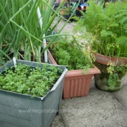 Planting carrots - Succesional sowing