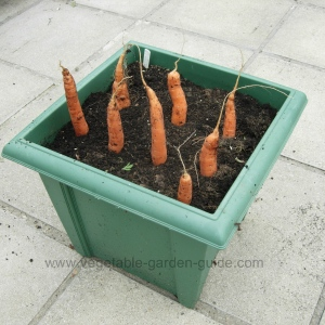 Growing carrots - Australian variety ;0)