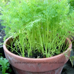 Carrots in square plant container