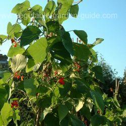 Growing Green Beans - Runner Beans