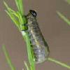 Asparagus Beetle Grub