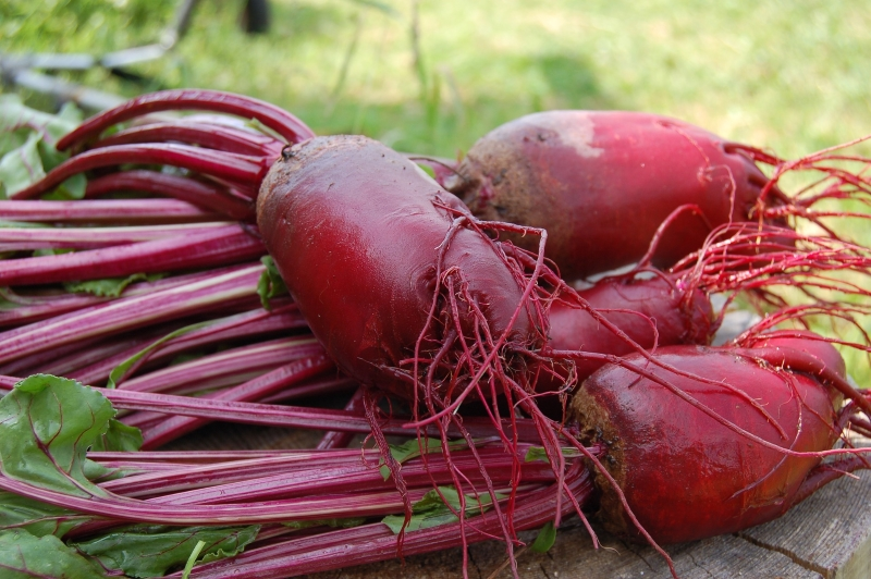 Planting Beet Root The Easy Way For Tasty Successful Harvests