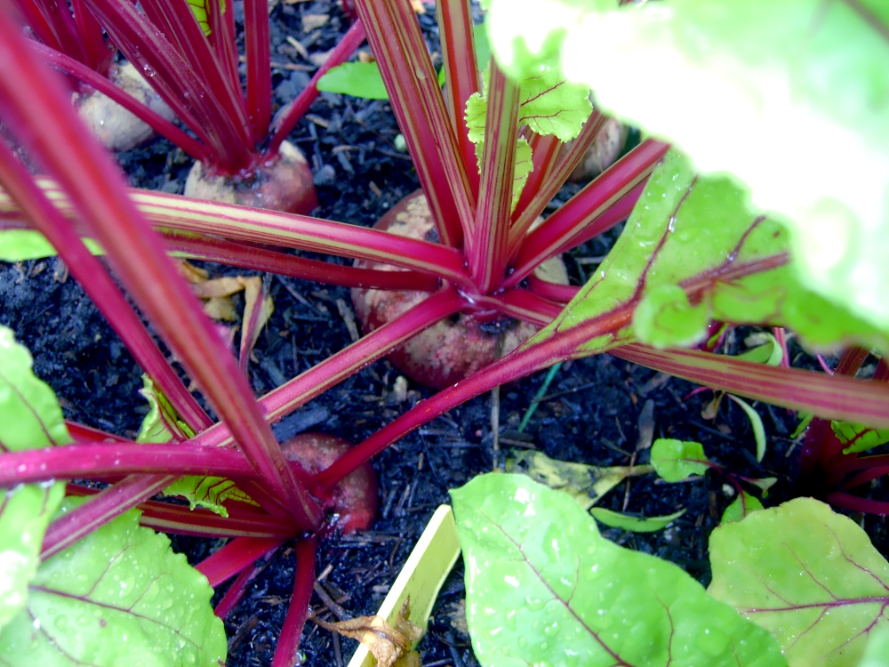 Planting beet root the easy way for tasty, successful harvests