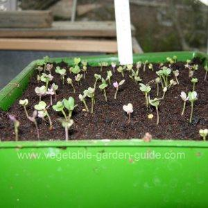 Purple Sprouting Broccoli seedlings