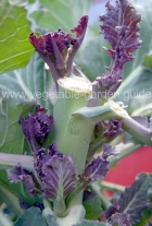 Growing Purple Sprouting Broccoli Spears