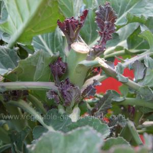 Purple Sprouting Broccoli - Sprouting New Florets