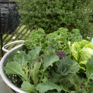 Purple Sprouting Broccoli Harvest With Brussels Sprouts Tops and Kale