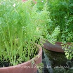 Sown carrots in round plant containers
