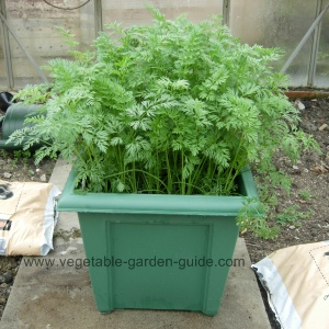 Small Vegetable Garden Ideas >> Growing Carrots In Plant Containers Makes For Easy Cultivation