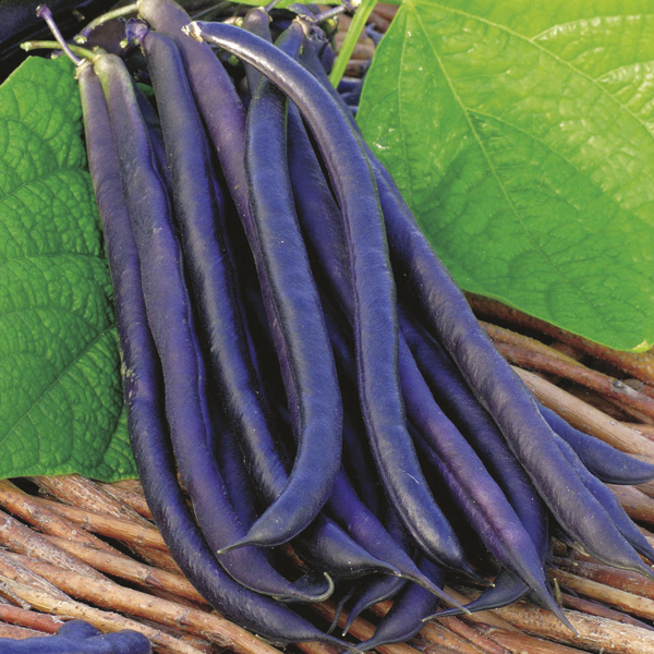 Growing French Beans - planting instuctions with pictures