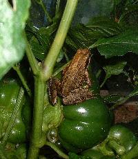 Frog and vegetable garden
