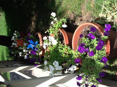 Beloved Petunias