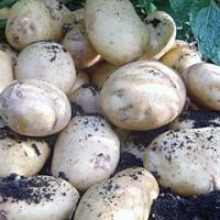 International Kidney potato seed