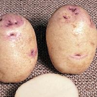 kestrel potato seed