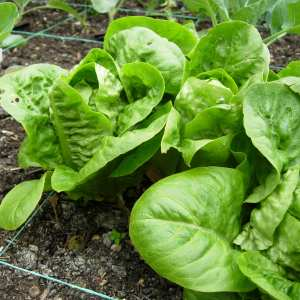 Lettuce variety: Little Gem