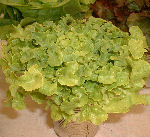 Lettuce variety: Looseleaf 
