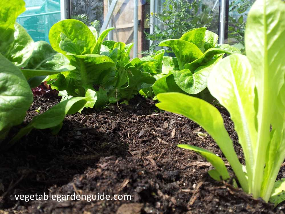 How To Grow Lettuce Tips Instructions And Pictures For A Tasty