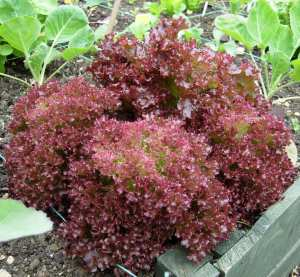 How to grow lettuce - Lollo Rossa