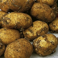 Maris Peer potato seed