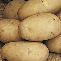 Maris Piper potato seed