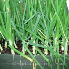 How to grow onions