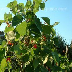 Growing Green Beans - Runner Beans