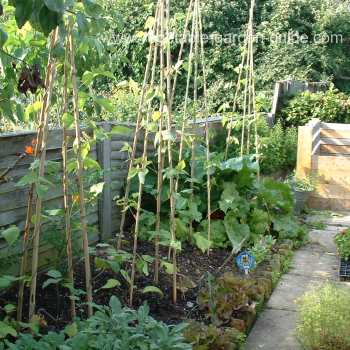 Growing Green Beans Or Runner Beans For Delicious Bumper