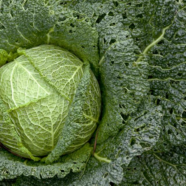 Growing Cabbage Instructions Growing Tips Advice