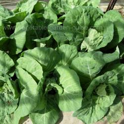 Spring Cabbage Plants