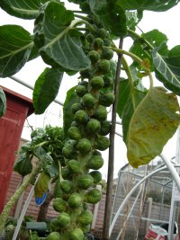 My Brussels Sprout Plant(2007 season) from How to Grow Brussel Sprouts