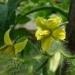 Tomato Plant Blossom