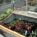 Tomato Plant In Propagator