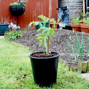Plant Tomatoes in Containers
