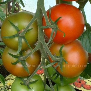 Planting Tomatoes in Containers
