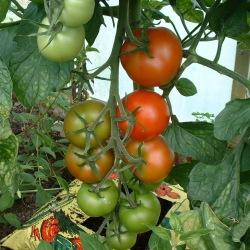 Alicante Tomatoes