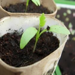 vegetable gardening questions - Rust