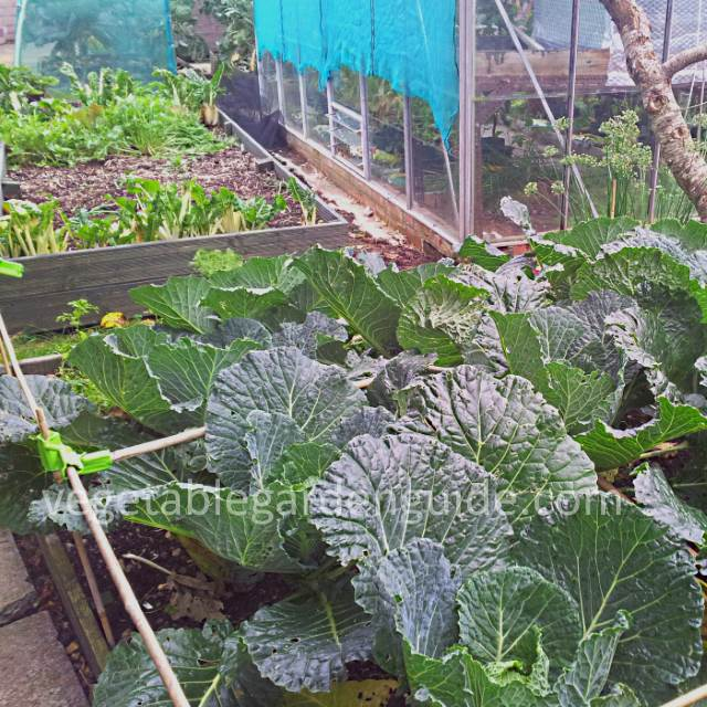 Growing Cabbage - Instructions