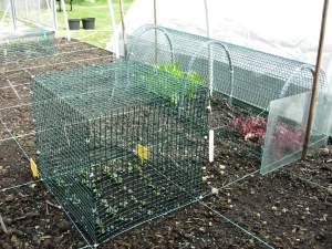 How to grow lettuce - cloche