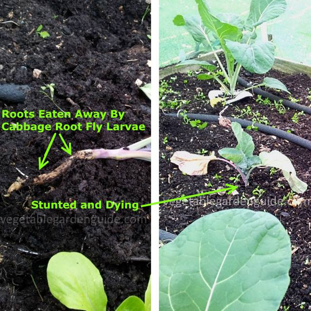 Growing Broccoli For Best Results Vegetable Growing Tips