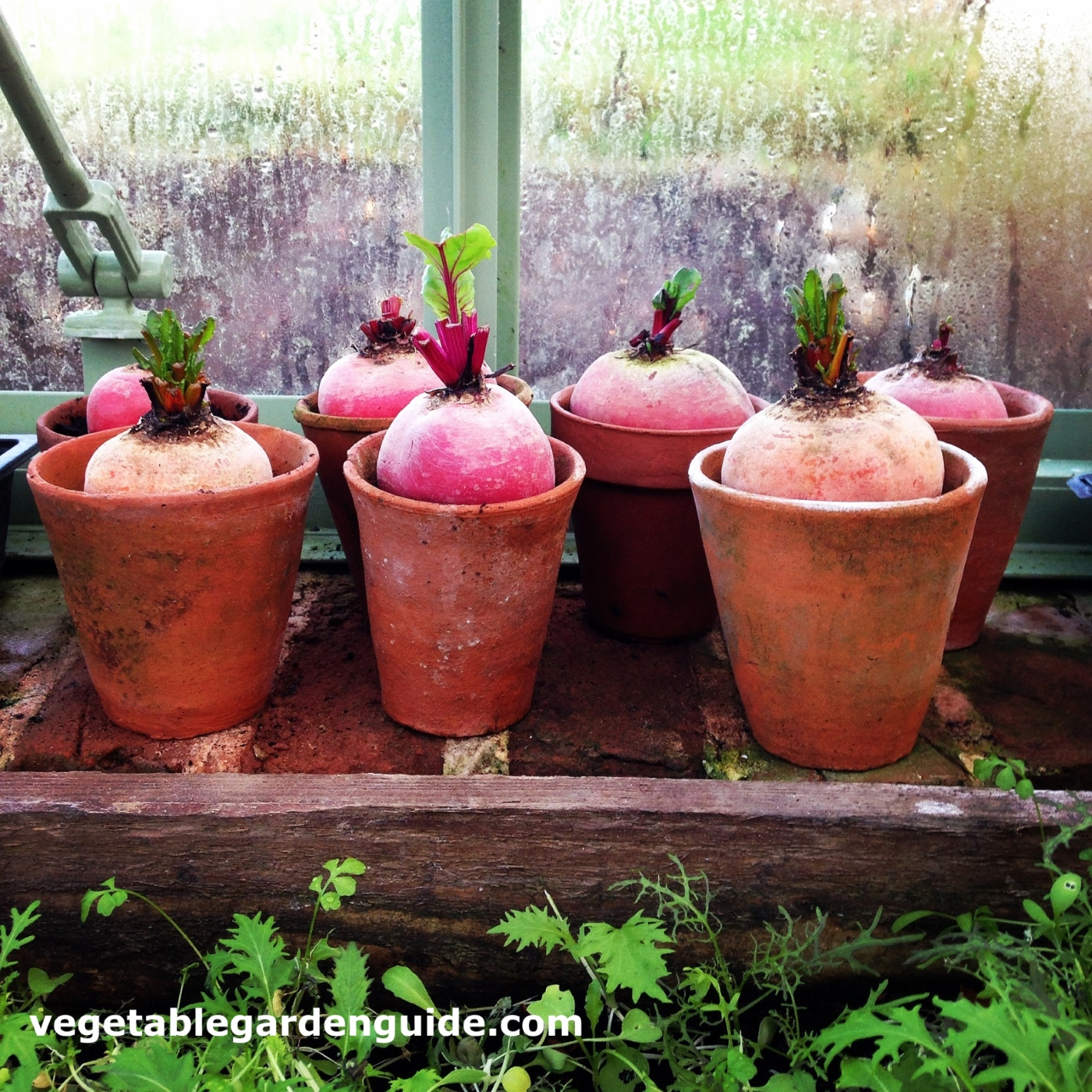 Container vegetable gardening for Potted vegetable garden