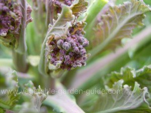 Purple Sprouting Broccoli - New Shoots