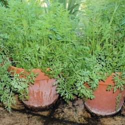 How to Grow Carrots - Containers