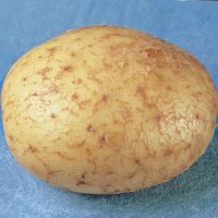 Duke of York potato seed