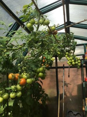 Growing Tomatoes in Early September 2015