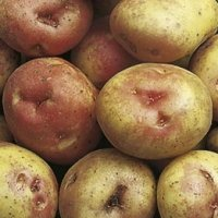 King Edward potato seed