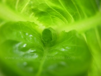 How to grow lettuce - a delicate heart